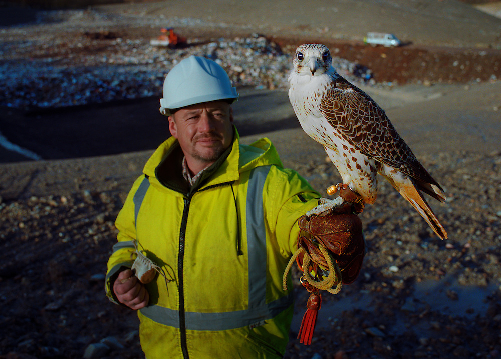 Malcolm, a falconer and resident of Distington, is employed by Cumbria Waste Management Ltd to cull off the seagulls, which are regarded as vermin because they scavenge through the rubbish on the landfill sites and stray into the surrounding area.