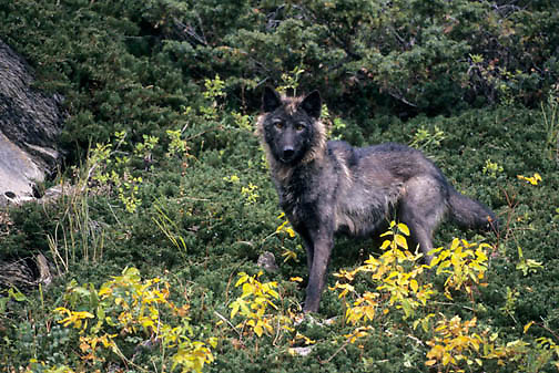 Gray Wolf, (Canis lupus) Adult in forest. Montana. Fall.   Captive Animal.