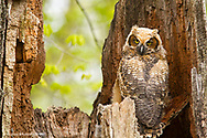 Great Horned Owl at nest site in Defiance, Ohio, USA