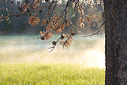 Spider cobwebs on a bugkilled pinetree illuminated by the morning sun, with a steaming marsh in the background. Stanley Lake, Idaho, USA PLEASE CONTACT US FOR DIGITAL DOWNLOAD AND PRICING.