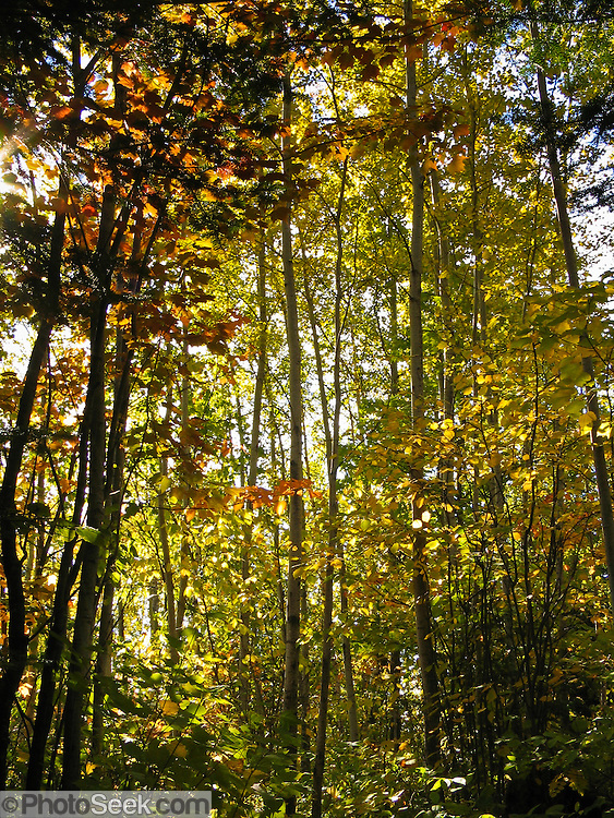 Tree foliage changes from green to yellow and orange in late September in Superior National Forest, Minnesota, USA.