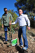 Israel, Mount Carmel, Isfiya, Jewish National Fund has organised a mass tree planting in the burnt Carmel forest for Tu Bishvat. Member of Knesset Eitan Cabel plants a tree .