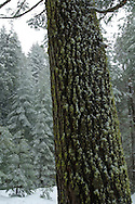 Fresh winter snow on moss on trunk bark of Red Fir tree at Crane Flat, Yosemite National Park, California