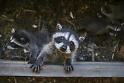 Raccoon <br /> Procyon lotor<br /> Eight-week-old orphaned baby in foster home <br /> WildCare, San Rafael, CA