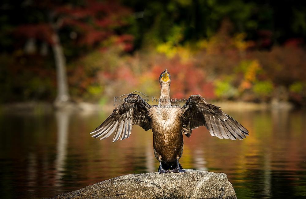 Cormorant Squam Lake
