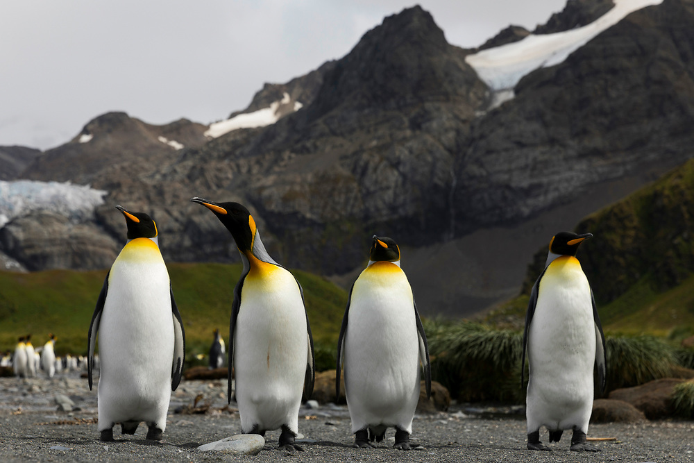 King penguins stand tall on Thursday, Feb. 1, 2018 in Gold Harbor, South Georgia. (Photo by Ric Tapia)