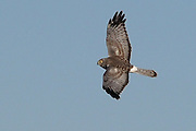 Male Northern Harrier, Circus cyaneus