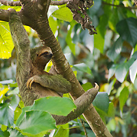 Alberto Carrera, Pale-throated Sloth, Bradypus tridactylus, Three-toed Sloth, Tropical Rainforest, Marino Ballena National Park, Uvita de Osa, Puntarenas, Costa Rica, Central America, America