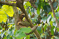 Alberto Carrera, Pale-throated Sloth, Bradypus tridactylus, Three-toed Sloth, Tropical Rainforest, Marino Ballena National Park, Uvita de Osa, Puntarenas, Costa Rica, Central America, America