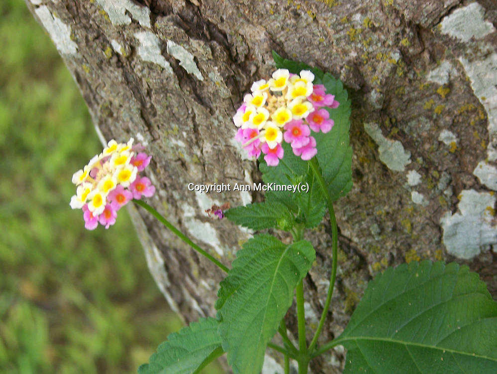 Sweet William Flowers against a Tree Trunk