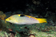 fourspot, four-spot, or checkerboard wrasse, female, Halichoeres hortulanus, Lama Shoals, Witu Isles, New Britain, Papua New Guinea ( Bismarck Sea )