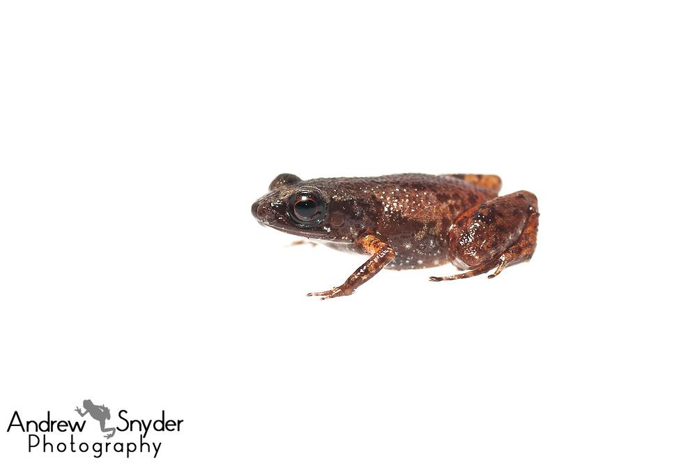 Drop-splattered frog, Adelophryne gutturosa, Chenapau, Guyana, March 2014