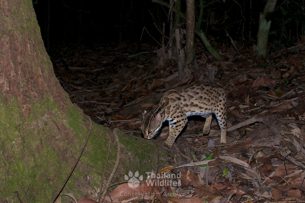 The leopard cat (Prionailurus bengalensis) is a small wild cat of South and East Asia.