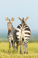 Cape Mountain Zebra's facing back to front to one another, De Hoop Nature Reserve, Western Cape, South Africa