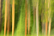 Lodgepole pine trees (Pinus contorta) - motion study