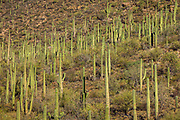 Saguaro cactus on a hillside in Saguaro National Park, Arizona