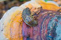 "Leopard slugs are an introduced species native to Southern Europe and have made their way around the world due to commercial shipping combined with their ability to thrive in multiple types of habitat. With a scientific name (Limax maximus) that literally means ""biggest slug"", it is one of the longest slugs (but not the biggest) and can live up to three years and reach a length of 6 to 8 inches. This one was found on a type of polypore mushroom called a red belt conk in deep in a forest Montana's Glacier National Park."