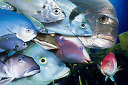 A collection of New Zealand fish. (Composite)<br /> From the top left hand corner, jack mackerel, trevally, tarahiki, snapper.<br /> Second line down from the left, blue maomao, toado pufferfish, male sandager wrasse, third line down from the top, two spot demoiselle and Porae. Fourth line a Blue cod on the left, and far right bottom is a scarlet wrasse. This image is with Getty, file number 200135071-001