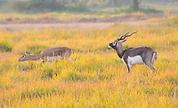 Black Buck antelope in the Black Buck Conservation Area, Khairapur, near Gulariya, Nepal
