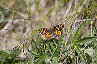 Phyciodes pulchella (Field Crescent) at Quaking Aspen, Tulare Co, CA, USA, on 04-Jun-15