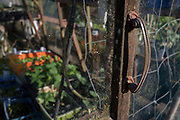 Detail of a greenhouse door handle and growing plants in a garden, on 22nd April 2017, in Wrington, North Somerset, England.