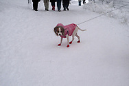 Dog dressed for snow in Central Park