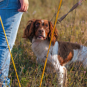Photography from the Wisconsin English Springer Spaniel Association (WESSA) Hunt Test, Labor Day weekend, 2015.  The event took place at the Bong Recreation Area in Burlington, WI.