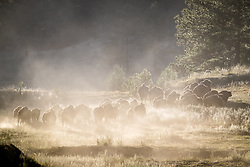 Bison herd running through cloud of dust, Vermejo Park Ranch, New Mexico, USA.