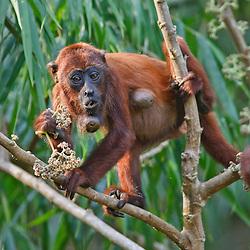 Red howler monkey feeding on flowers and showing parasitic infestation Peru, Tambopata - Roter Brüllaffe mit Parasitenbefall bei der Nahrungsaufnahme, Peru, Tambopata