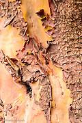 Madrona (Arbutus menziesii)