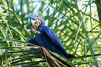 Hyacinth Macaw (Anodorhynchus hyacinthinus) feeding on a palm nut,  The Pantanal, Mato Grosso, Brazil