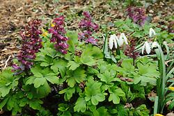 Holwortel, Corydalis cava