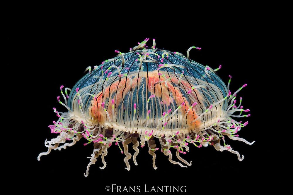Flower Hat jelly, Olindias formosa, Monterey Bay Aquarium, California