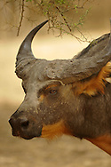 African buffalo, Syncerus caffer, buffle d'Afrique