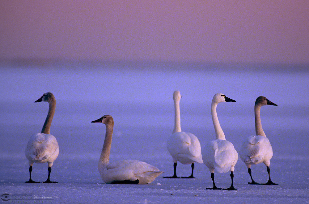 Whistling Swan, Cygnus columbianus is a small swan which breeds on the North American tundra, further north than other swans and winters in the USA.