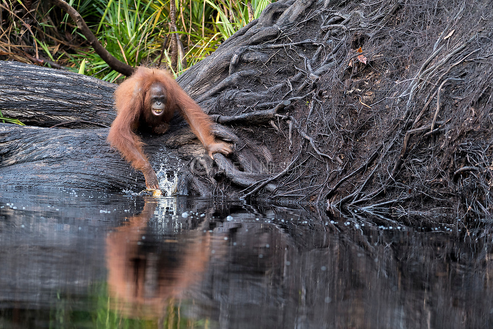 Young Borneo Orangutan (Pongo pygmaeus wurmbi) testing out what water is like in Tanjung Puting National Park, Kalimantan, Indonesia