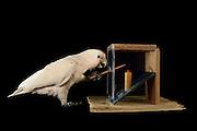[captive] Goffin's cockatoo (Cacatua goffiniana). In this experiment, the cockatoo learns to use a tool. It needs to poke a treat (peanut) in a box using a stick until the treat falls out off the box. Handling of the stick requires coordination of foot and beak. Goffin's cockatoos or Tanimbar Corellas are endemic to the Tanimbar archipelago in Indonesia. Research on their cognitive abilities is done in the Goffin Lab (Lower Austria) by Dr. Alice M. I. Auersperg. Sequence 9/10. | Goffinkakadu (Cacatua goffiniana). In diesem Versuch muss der Goffinkakadu erlernen, mit einem Stock nach einer Belohnung (Erdnuss) zu stochern, um sie zum Rausfallen aus einer ansonsten unzugänglichen Box zu bringen. Die Handhabung des Stöckchens verlangt Koordination von Fuß und Schnabel. Der Kakadu lernt hierbei den Werkzeuggebrauch. Der Goffinkakadu ist eine Papageienart und kommt in freier Wildbahn ausschließlich auf der indonesischen Inselgruppe Tanimbar vor. Forschung zu kognitiven Fähigkeiten des Goffinkakadus wird im Goffin Lab (Niederösterreich) von Dr. Alice M. I. Auersperg durchgeführt. Sequenz 9/10.