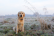 A portrait of a six month old golden retriever puppy, sitting next to some frosty grass in the early morning light