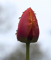 Closed tulip after the rainfall
