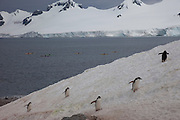 Half Moon Island, home to over 3000 pairs of chinstrap penguins, many with chicks at this time of year, late in the Antarctic summer. Off the Antarctic Peninsula.