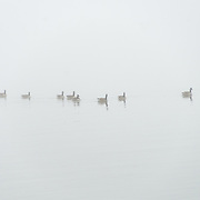 Ducks on the Potomac disappear into the mist on a cold winter's day in Washington DC.