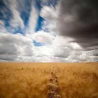 Wheat field on a windy day. Long exposure shot.