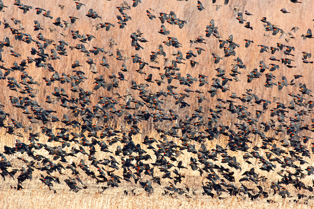 Red-winged Blackbirds, Agelaius phoeniceus, Bosque del Apache NWR, New Mexico