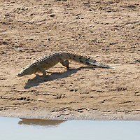 Nile crocodile running towards water. South Luangwa National Park, Zambia.