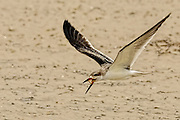 Juvenile Black Skimmer (Rynchops niger) flying with its beak open and and a small branch in it