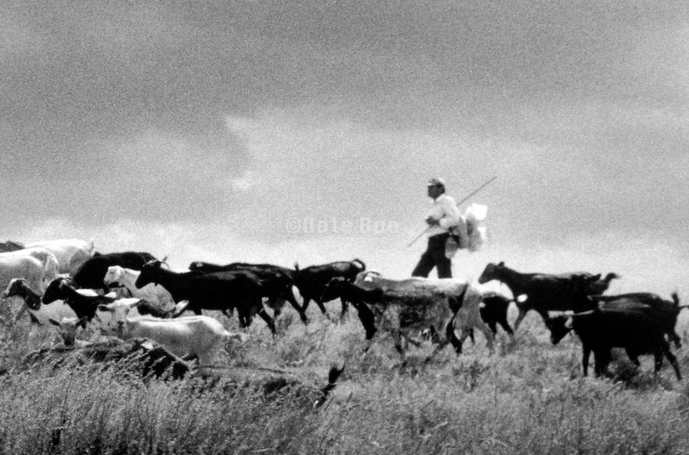 farmer herding goats