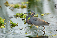 Tricolored Heron (Egretta tricolor), Arthur J Marshall National Wildlife Reserve - Loxahatchee, Florida   Photo: Peter Llewellyn