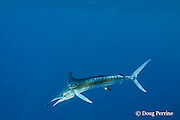 white marlin, Tetrapturus albidus, eating bait fish, off Yucatan Peninsula, Mexico ( Caribbean Sea )