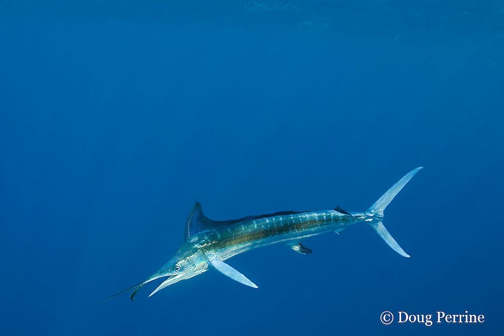 white marlin, Tetrapturus albidus, eating bait fish, off Yucatan Peninsula, Mexico ( Caribbean Sea )
