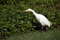 A cattle egret stalks its prey in the plantings at Napili Shores resort in Lahaina, Hi, Monday, Jan. 15, 2018. (Photo by D. Ross Cameron)